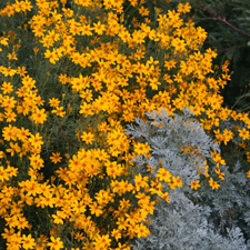 Yellow Mexican Marigold - Tagetes Lemonii
