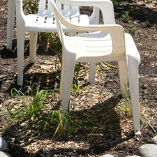 Lawn chairs shading transplants in hot weather
