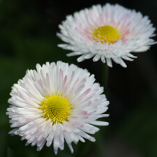 White English Daisy with a touch of pink