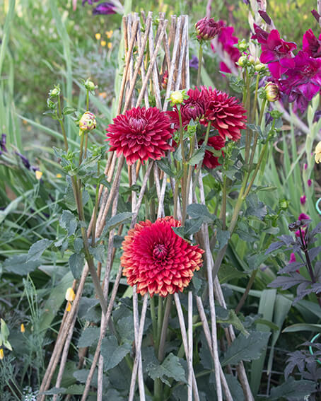 red dahlia in teepee