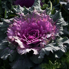 Ornamental Cabbage - Brassica oleracea