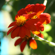 Orange Tithonia rotundifolia