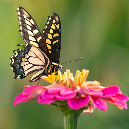swallowtail on pink zinnia