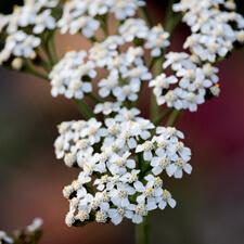 Yarrow - Achillea millefolium californica