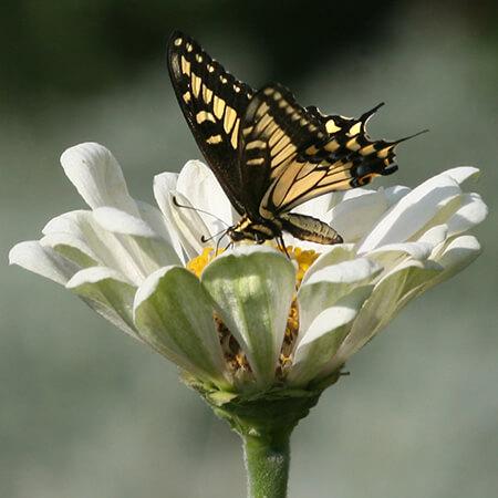 swallowtail butterfly on white zinnia