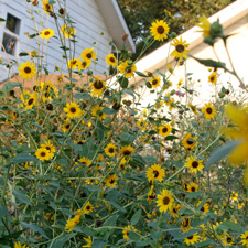 Yellow Sunflower - Helianthus Annuus