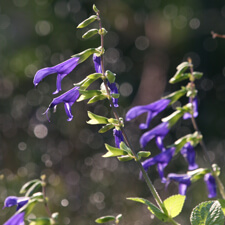 Purple Salvia guaranitica