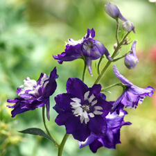 Purple and White Delphinium