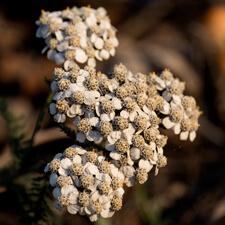White Yarrow - Achillea millefolium