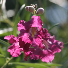 Magenta Desert Willow Tree