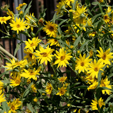 Yellow Perennial Sunflower - Helianthus maximiliani