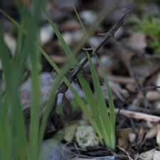 Blue-eyed Grass - Sisyrinchium bellum seedling
