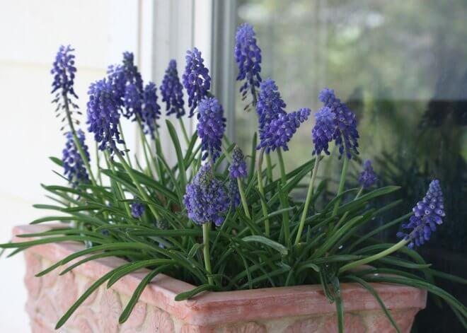 Grape Hyacinth in container