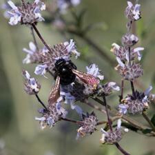 Black Sage - Salvia mellifera
