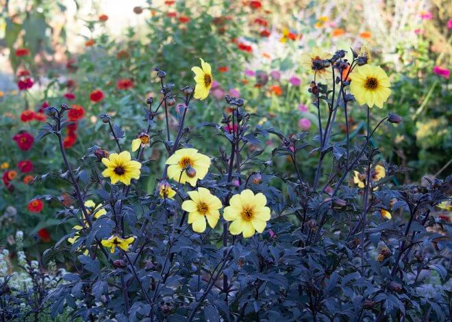 yellow black mystic dahlias