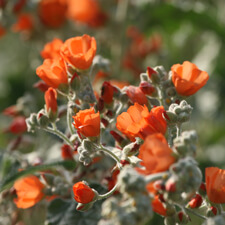 Orange Desert Mallow - Sphaeralcea ambigua