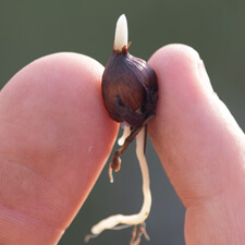 Gladiola Cormlet - Gladiolus