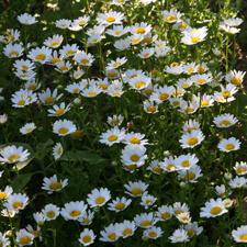 Snowland Daisy - Leucanthemum paludosum