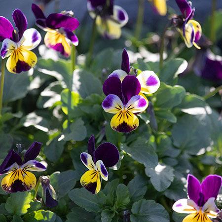 purple yellow pansy viola