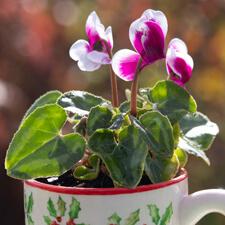 Miniature Cyclamen in Teacup