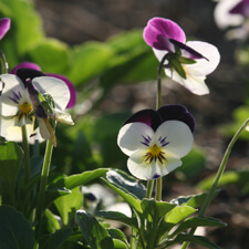 White and Purple Johnny Jump Up - Pansy - Viola