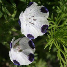 Five Spot Nemophilia