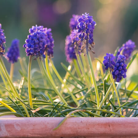 Muscari Grape Hyacinth