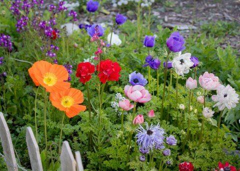 Iceland poppy ranunculus anemone
