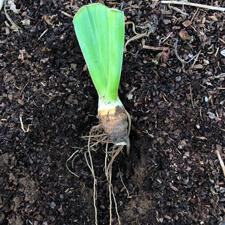 Planting divided iris rhizome