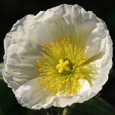 White Iceland Poppy - Papaver nudicaule