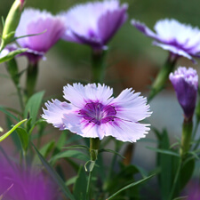 Purple Dianthus