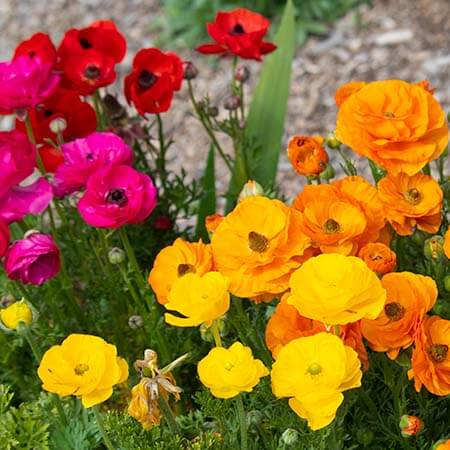 orange yellow pink red ranunculus