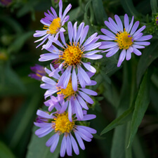 Purple Aster - Symphyotrichum chilense