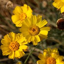 Desert Marigold - Baileya multiradiata