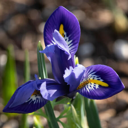 Purple Iris Reticulata