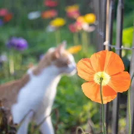 orange iceland poppy with cat
