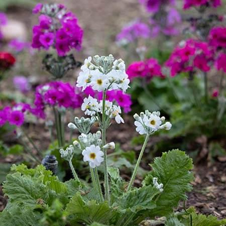 white candelabra primula