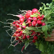 Radishes - Organic Gardening