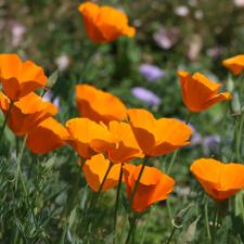 Orange California poppies - Eschscholzia californica