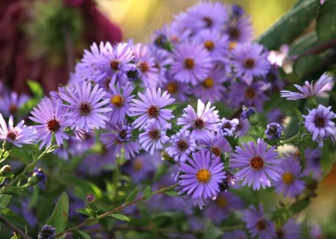 Purple Haze Aster Chilensis