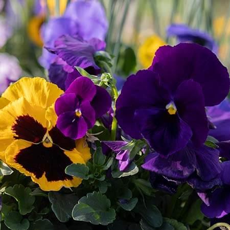 purple yellow pansy