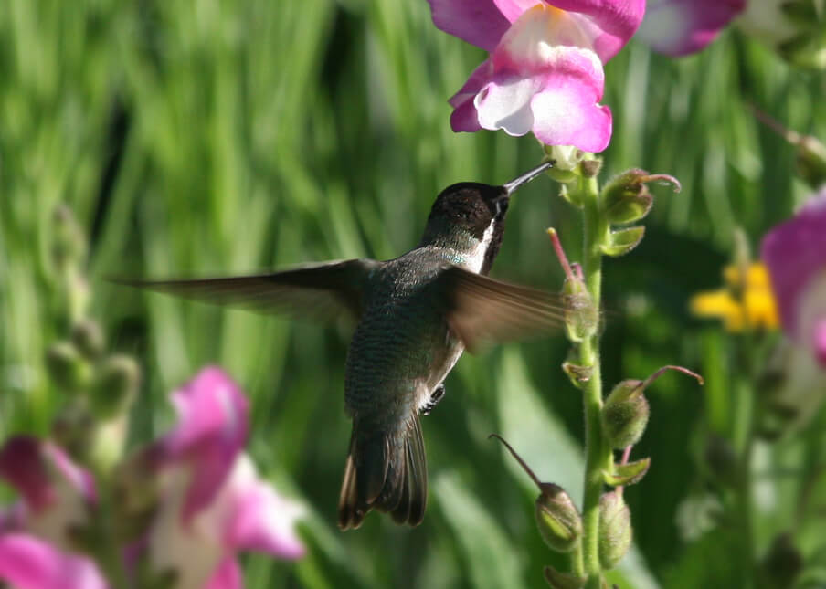 Hummingbird Garden Plants