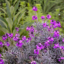 Purple Wallflower Erysimum