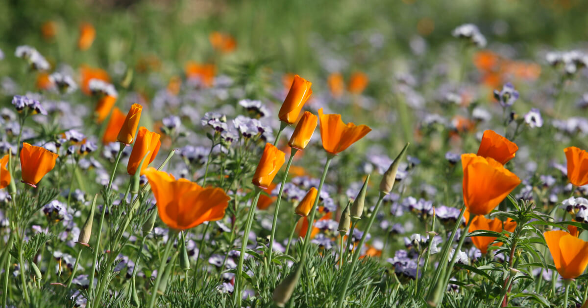 California Poppies with Birds Eyes