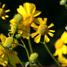 Yellow Encelia farinosa
