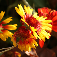 Red Yellow Gaillardia pulchella