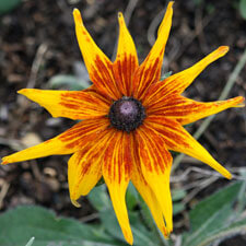 Orange Yellow Rudbeckia