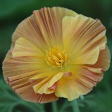 Ruffled Orange California Poppy