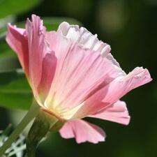 Pink and White California Poppy