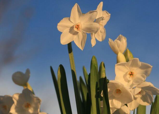 Paperwhites against blue sky